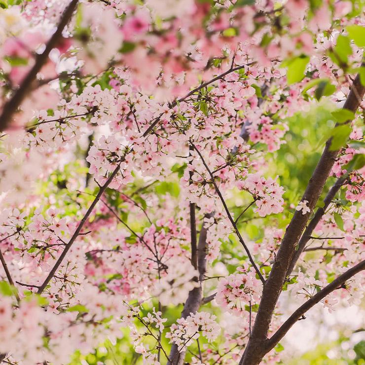 """Image d'illustration de l'offre """"Biar Cherry Blossom"""""""